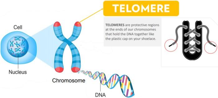 Apa itu telomere? - Telomere dan penuaan sihat