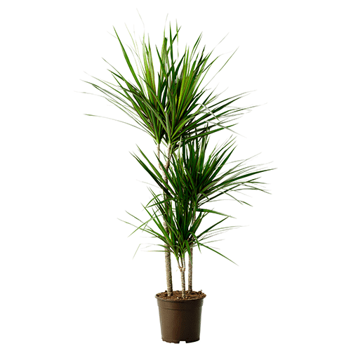 Pokok Naga Dracaena Bersih Udara Dalam Rumah